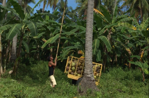 coconut_harvesting_with_stick