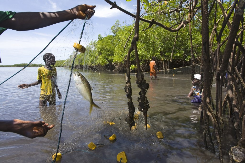 Pche au filet prs de la mangrove