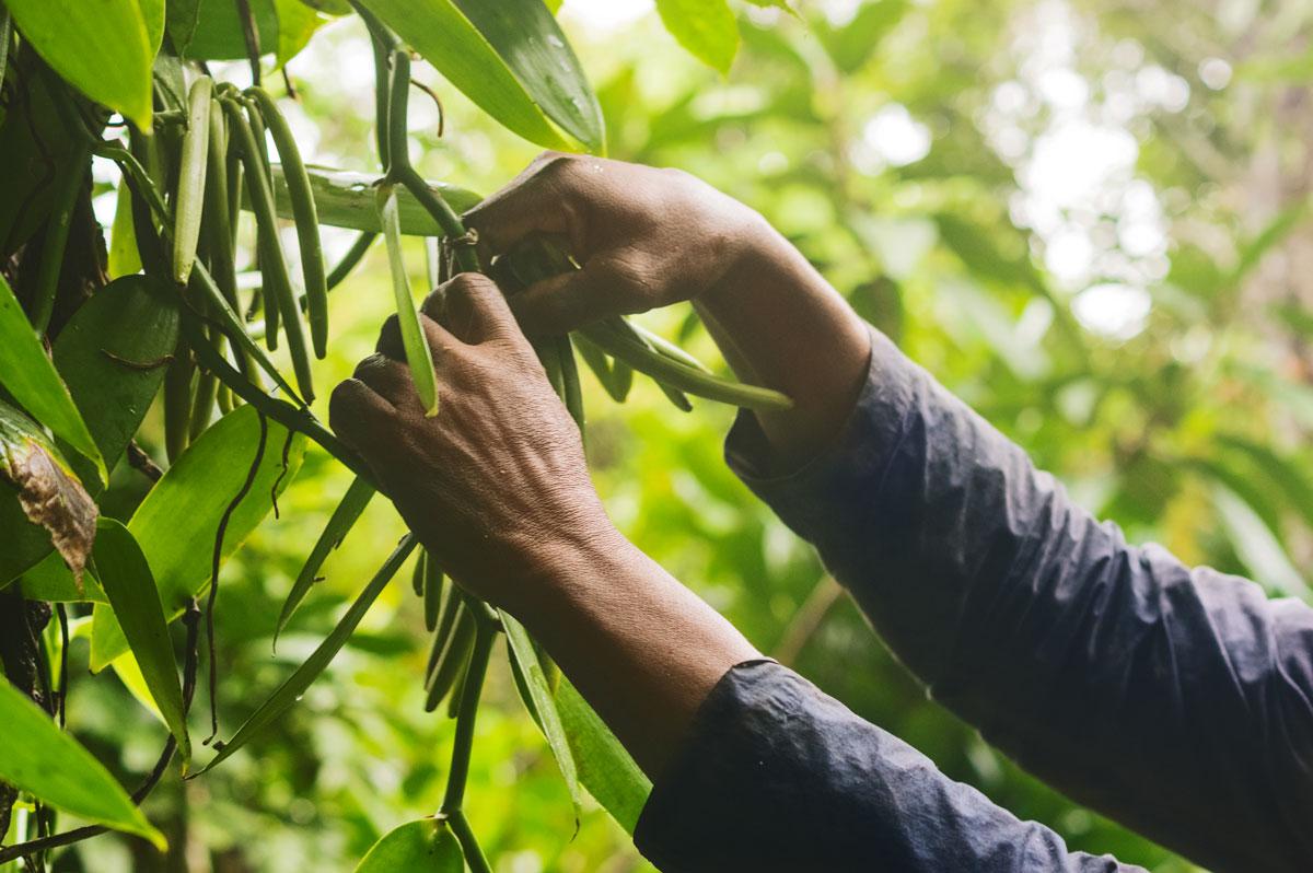 Communiqué de presse: Le Fonds Livelihoods investit dans la vanille à Madagascar
