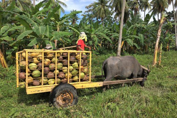 coconut_farmer_philippines